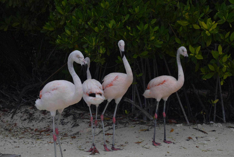 Čileanski flamingo