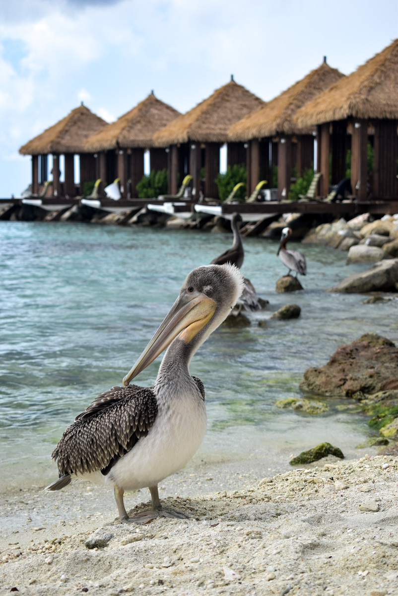 Pelikani na ostrvu Renaissance