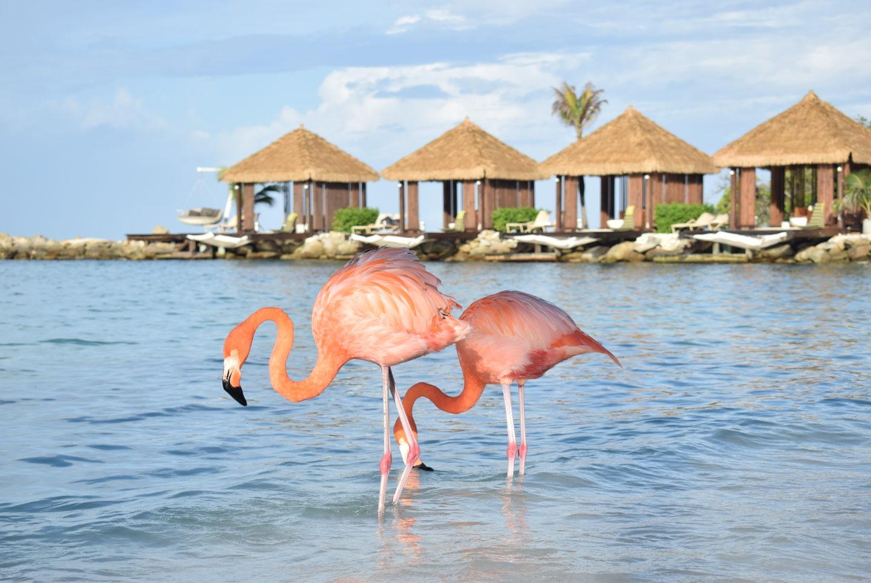 Flamingo, prelepa ptica ružičaste boje, glavna atrakcija Arube
